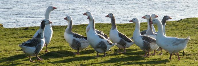 Oca delle isole Shetland