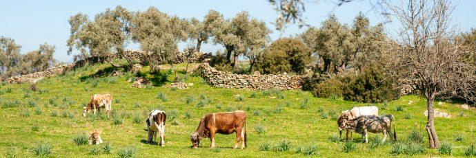 Olio extravergine di oliva dei paesaggi indigeni dell'Egeo