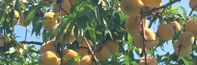 Lemon Cling Peach