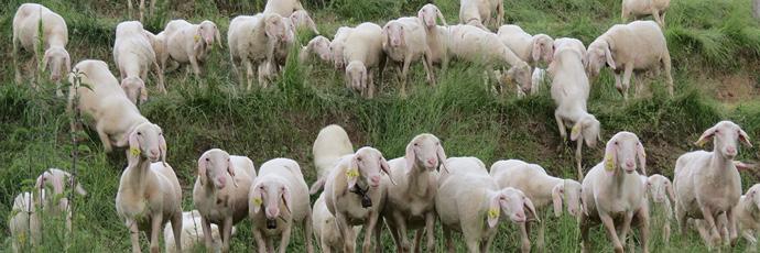Brianzola Sheep