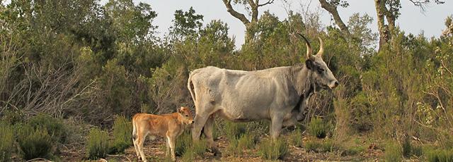 Maremmana Cattle