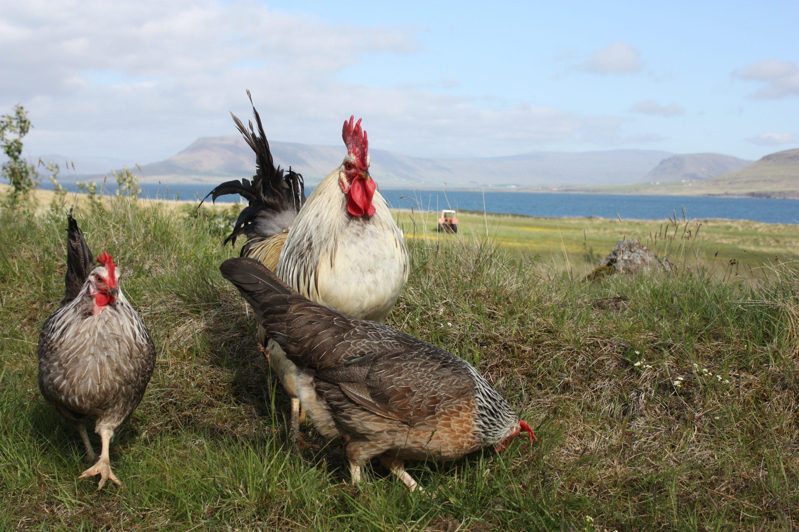 Settlers' Icelandic Hen Landnámshæna