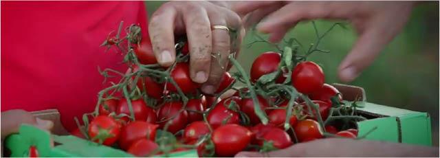 Pomodoro buttiglieddru di Licata