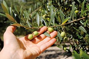 Gran Sasso, Castellli e Tratturi, olivi