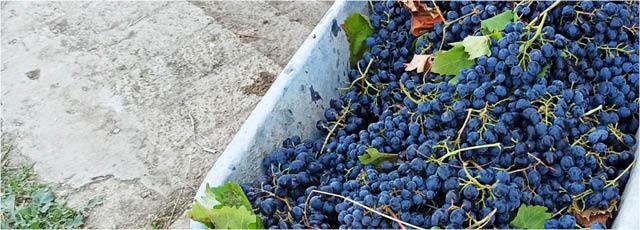 Madrasa grape