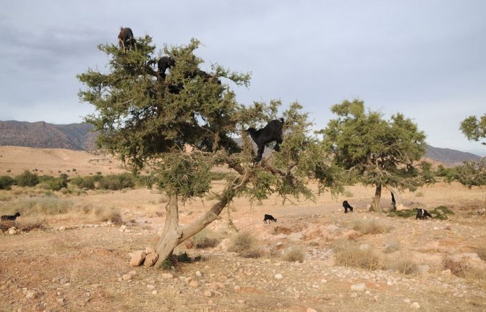 L'olio d'argan alimentare: prelibatezza sconosciuta, in un ecosistema in pericolo