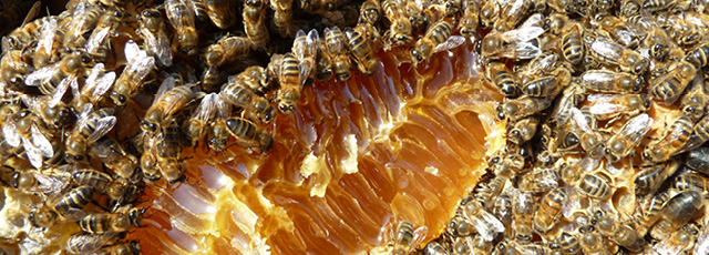 Ponente Ligure Black Bee