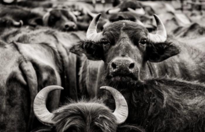 Caucasian Buffalo and Mountain Honey are new Slow Food Presidia in Azerbaijan