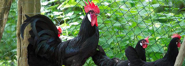 Valdarno Black Chicken