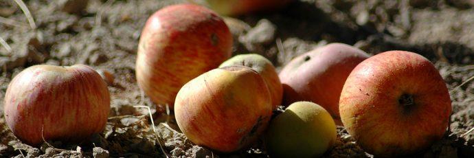 Sebastopol Gravenstein Apple