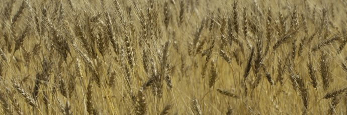 Sigüenza Black Wheat